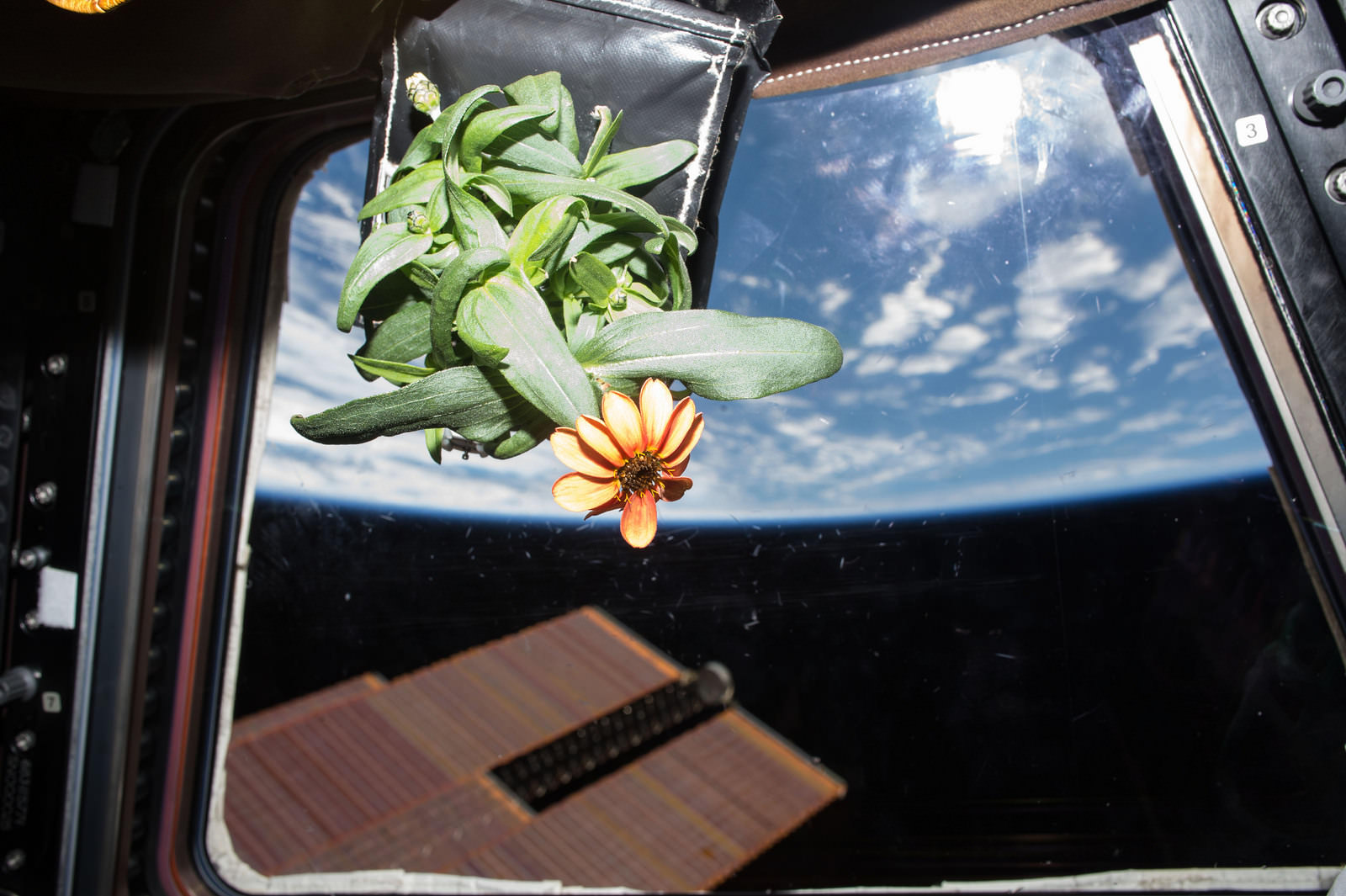 Photo of first ever blooming space Zinnia flower grown onboard the International Space Station's Veggie facility moved to catch the sun's rays through the windows of the Cupola backdropped by Earth.  Credit: NASA/Scott Kelly/@StationCDRKelly