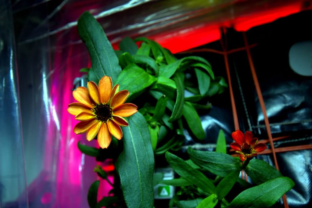 Zinnia flower blooms in space for the first time in the Veggie growth facility aboard the International Space Station on Jan. 16, 2016. Credit: NASA/Scott Kelly/@StationCDRKelly