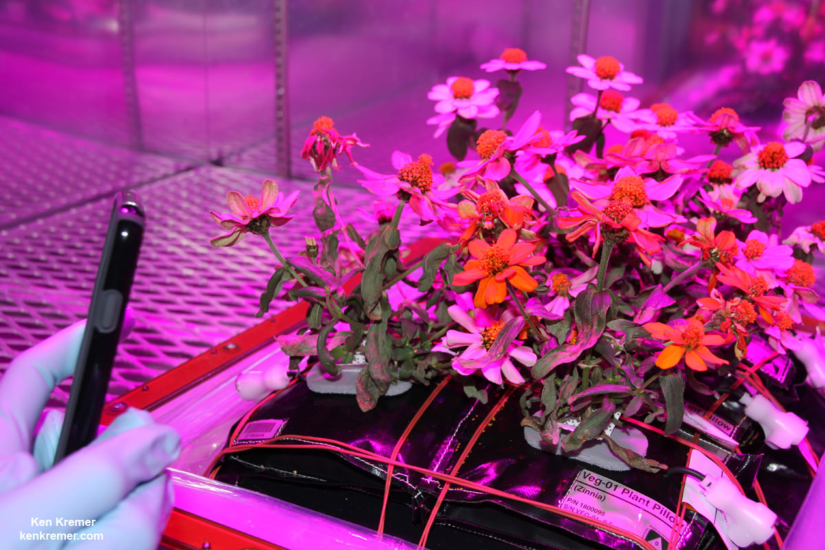 Ground truth Zinnia plants growing inside an experimental tray of six Veggie pillow sets in a  controlled environment chamber in the Space Station Processing Facility at NASA's Kennedy Space Center in Florida. Credit: Ken Kremer/kenkremer.com