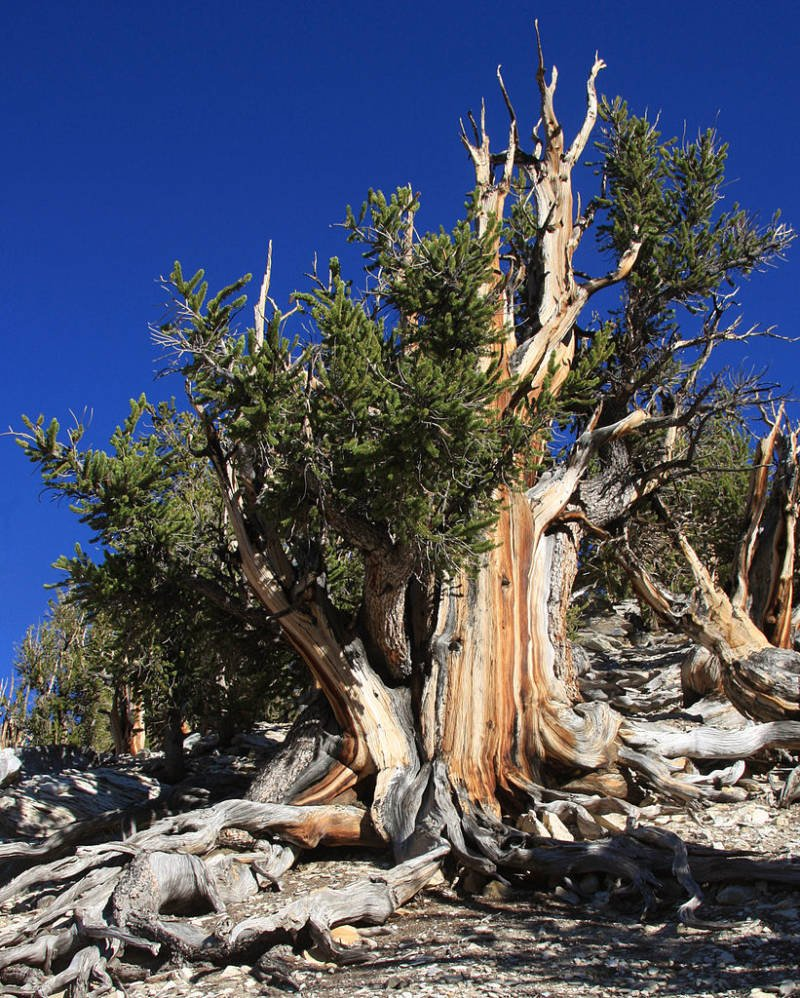 California's Methuselah tree is nearly 5000 years old, and it contains a record of solar activity over its lifespan. For its own protection, its location is secret and there are no photos of it. This is a photo of another Bristlecone Pine tree. Image Credit: Wikimedia Commons